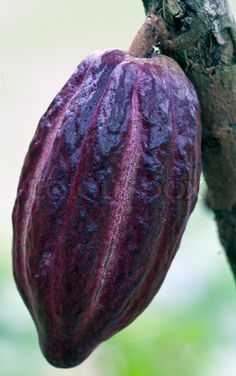 Stock image of 'Cacao-beans (chocolate tree), Bali, Indonesia' Fruit And Veg, Fruits And Vegetables, Fresh Fruit, Fruit Plants, Fruit Trees, Photo Fruit, Chocolate Tree, Theobroma Cacao, Cacao Beans