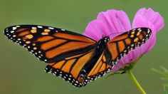 #MonarchButterfly Numbers May Come Back From Record Low ~ AP #SaveTheMonarchs #MonarchMigration The Monarch butterfly population has declined from a recorded high of approximately one billion in the mid-1990s to only 35 million butterflies last winter, the lowest number ever recorded.