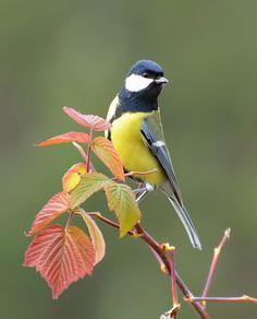 "Photo from album ""ПТИЦЫ"" on Yandex. Beautiful Creatures, Animals Beautiful, Cute Animals, Cute Birds, Pretty Birds, Exotic Birds, Colorful Birds, Parus Major, Most Beautiful Birds"