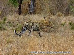 Leopard_Kruger_SA VIII South Africa Wildlife, Tours, Animals, Animales, Animaux, Animal, Animais