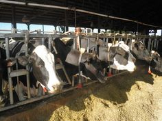 Luke's cows!
