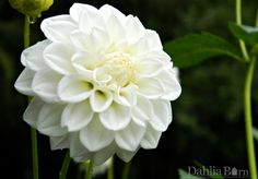 White Fawn - Dahlia Barn. Added to garden in 2016