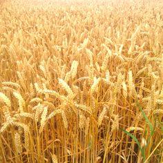 #harvest
