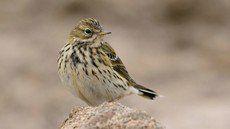 ♫ Bisbita Pratense - Escucha la voz del pájaro
