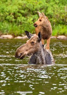 A Mamas love ❤️ - animals so cute - Animals Wild Nature Animals, Animals And Pets, Cute Baby Animals, Funny Animals, Animal Babies, Piggy Back Ride, Tier Fotos, Mundo Animal, Cute Animal Pictures