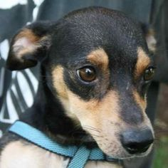 Percy is an adoptable Chihuahua Dog in Chipley, FL. Percy is a 4 to 5 year old male chihuahua/dachshund cross, about 10 pounds. He is good on a leash, friendly and very well mannered. Adorable and ver...