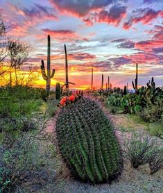 The sunset views from Saguaro National Park never disappoint! Photo by Arizona Nature Lovers member Bella Nugent! Arizona Cactus, Desert Cactus, Cacti And Succulents, Cactus Plants, Barrel Cactus, Cactus Flower, Stand Tall, Backyard Landscaping, Beautiful Landscapes
