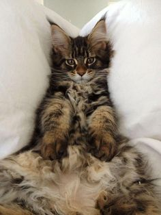 Cute And Fat Maine Coon Cat