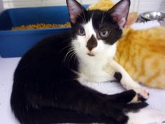 Mason #6067 Needs a good home! www.CatsExclusive. org. Fixed, vaccinated, negative for FIV/FeLV/HW, de-wormed, de-fleaed