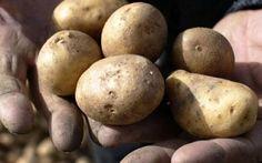 Ingredienti della cucina naturale: le patate