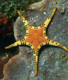 This is the incredible Icon Star or Double Star (Iconaster longimanus) that comes from the Greek word aster meaning star. Habitat: west and central Indo-Pacific Ocean