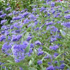 Molbak's Garden+Home - Bluebeard