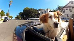 A video of dogs doing what they love to do while riding in cars. Funny Dogs, Funny Animals, Cute Animals, Kentucky, Used Volvo, Beach Haven, Grand Prairie, Dog Car, Daytona Beach
