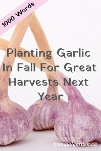 Planting Garlic In Fall For Great Harvests Next Year - Planting garlic in fall will give you a head start on some growth before the spring. Learn how to grow garlic through photos. Organic Plants, Organic Gardening, Gardening Tips, Vegetable Gardening, Container Gardening, Planting Garlic In Fall, Harvesting Garlic, Cash Crop, Autumn Garden