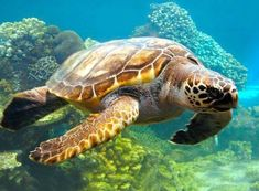 Photo about A sea turtle swimming over a coral reef. Image of ocean, coral, turtle - 2737071 Sea Turtle Wallpaper, Fauna Marina, Shedd Aquarium, Georgia Aquarium, Turtle Swimming, Reptiles, Teacher Discounts, Turtle Love, Turtle Beach