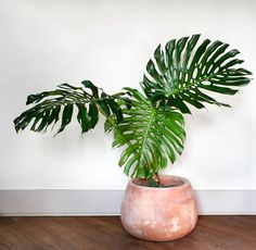 Monster Greenery: Create an Indoor Jungle with these Large Indoor Plants Monstera Deliciosa - Large Indoor Plants Large Indoor Plants, Potted Plants, Garden Plants, Hanging Plants, Indoor House Plants, Large Leaf Plants, Large Plant Pots, Indoor Plant Pots, Large Planters
