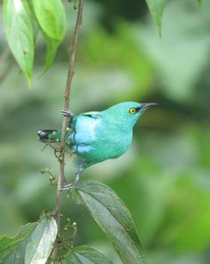 Viridian Dacnis (Dacnis viguieri) northwest Colombia and Panama