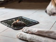 Podcast How Getting Rid of Mice and Insects Could Poison Dogs - The Best Raw Dog Recipes Diarrhea In Dogs, Fruit Dogs Can Eat, Dog Wheelchair, Pet Allergies, Pregnant Dog, Dog Grooming Business, Best Dog Food, Dog Diapers, Animaux