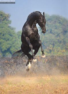 Марвари, Индия - Избранные фотографии - фотографии - equestrian.ru