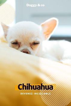 Le Chihuahua, Chihuahuas, Animals, Rat Dog, Companion Dog, Puppies, French Bulldog Cost, Dog Breeds, Doggies