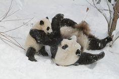Panda Mei Xian and darling cub Tai Shan plays in the snow. Panda In Snow, Panda Love, Cute Panda, Bear Pictures, Cute Pictures, Panda Information, Animals And Pets, Cute Animals, Wild Animals