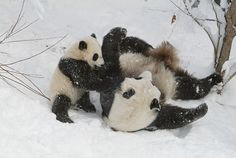 Mei Xiang and Tai Shan by Smithsonian's National Zoo, via Flickr