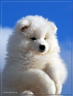 36 Samoyed Saturday Samoyed Photos Who doesnt love cute dogs and Samoyed are some of the cutest. They are like big lovable Teddy Bears Animals And Pets, Baby Animals, Funny Animals, Cute Animals, Animals Planet, Samoyed Dogs, Pet Dogs, Dog Cat, Doggies