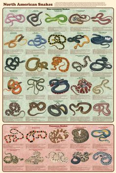 Laminated North American Snakes Poster 24x36 by Feenixx Publishing Snakes descend from lizards. Like them, they have loosely articulated skulls, and most can dislocate their lower jaw in order to swal