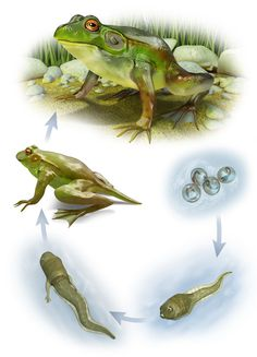 Maurizio De Angelis - Animals and Plants Preschool Printables, Preschool Worksheets, Lifecycle Of A Frog, Frog Life, Science Party, Spring Crafts For Kids, Montessori Materials, Life Cycles, Nature Animals