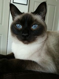 Abbey the chocolate point Siamese