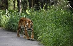 A Bengal tiger walks along a road ahead on Global Tiger Day in the jungles of Bannerghatta National Park, 25 kilometers (16 miles) south of Bangalore, India, Wednesday, July 29, 2015. India's latest tiger census conducted in 2014 showed a sharp increase in the number of the endangered cats in the wild. The country has nearly three-fourths of the world's estimated 3,200 tigers.