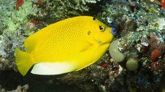 Peixe-anjo Amarelo
