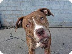 Brooklyn, NY - Pit Bull Terrier Mix. Meet FANDI a Dog for Adoption.