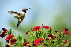 Hummingbird Frolic with Flowers Art Print by Christina Rollo. All prints are professionally printed, packaged, and shipped within 3 - 4 business days. Choose from multiple sizes and hundreds of frame and mat options. Animal Photography, Fine Art Photography, Nature Photography, Photography Flowers, Hummingbird Photos, Hummingbird Art, Quality Photo Prints, Thing 1, Gifts For Nature Lovers