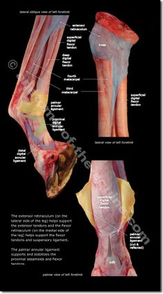 Equine Distal Limb - Stunning full color anatomy photos that reveal the form and function of the distal limb structures Horse Anatomy, Animal Anatomy, Horse Care Tips, Horse Facts, Vet Med, Horse World, Veterinary Medicine, Horse Love, Show Horses