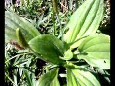 tanchagem verdadeira  ervas medicinais