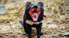 """""""O Grito do Bicho"""": Ainda há esperança para o Demônio da Tasmânia"""