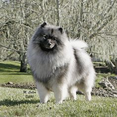 """Click visit site and Check out Cool """"German Spitz"""" T-shirts. This website is top-notch. Tip: You can search """"your name"""" or """"your favorite shirts"""" at search bar on the top."""