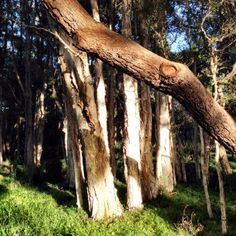 Paperbark trees in the sun - they love swampy soil. Parks In Sydney, Centennial Park, Great Places, Trees, Sun, Plants, Tree Structure, Plant, Wood