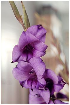 gladdys Lilac, Lavender, Gladioli, Language Of Flowers, Just Relax, Shades Of Purple, Purple Flowers, Planting, Beautiful Flowers