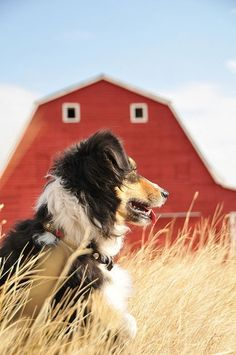 A multi-Colored Country Border Collie Sitting Only a Few Yards Away From the Barn. English Shepherd, Australian Shepherds, Shepherd Dogs, Country Farm, Country Life, Country Living, Country Roads, Blue Merle, Farm Life