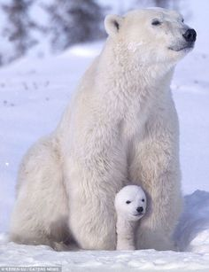 """""""Polar bear (Ursus maritimus) mother with cub on snow"""" - photo by Keren Su / Getty Images;  """"Pregnant female polar bears dig a snow den, give birth, and emerge three months later. During this time, they live off their fat reserves."""" Polar bears are not true hibernators that experience a marked drop in heart rate and body temperature. """"Adult males and non-pregnant females don't den up at all."""" - from Polar Bears International"""