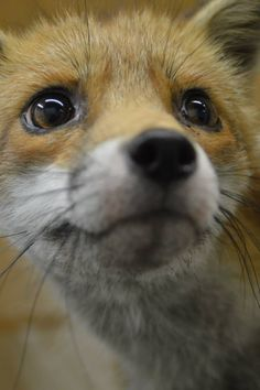 Fox :-) Similar look of attention on my ♥doggies faces