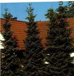 Omorika, Søjlegran, Serbisk gran, 250-300 cm. i klump, Picea Omorika TILBUDSPRIS SÅ LÆNGE LAGER HAVES