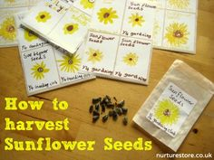 Harvesting sunflower seeds. Sunflower seed heads are packed with seeds, waiting to be harvested.