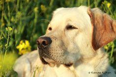 Labrador Leif