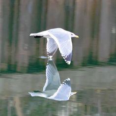 水を切ってビューン  #カモメ#gull #水鳥#野鳥#Wildbird#bird#birdwatching #動物#animal #水鏡#reflection #川#river#水#water #朝#morning #風景#自然#景色#picture#landscape#nature #東京#日本#tokyo#japan#love#loves_nippon #写真好きな人と繋がりたい
