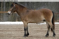 Gotland Pony - stallion Kumlaby Modul