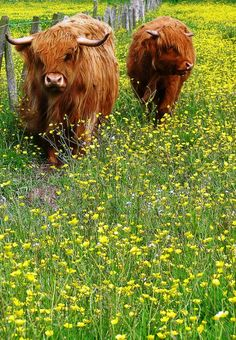 Highland cattle in a field by the West Kilbride, Ayrshire, Scotland. Cute Wild Animals, Happy Animals, Farm Animals, Animals And Pets, Scottish Highland Cow, Highland Cattle, Scottish Highlands, Beautiful Creatures, Animals Beautiful