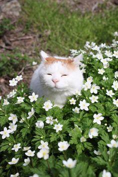 満開ニリンソウ - かご猫 Blog